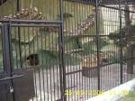 Изграждане по поръчка на изкуствени скали и камъни за зоологически градини